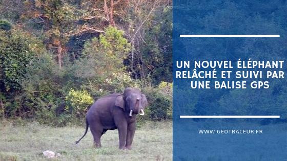 Un nouvel éléphant relâché et suivi par une balise GPS
